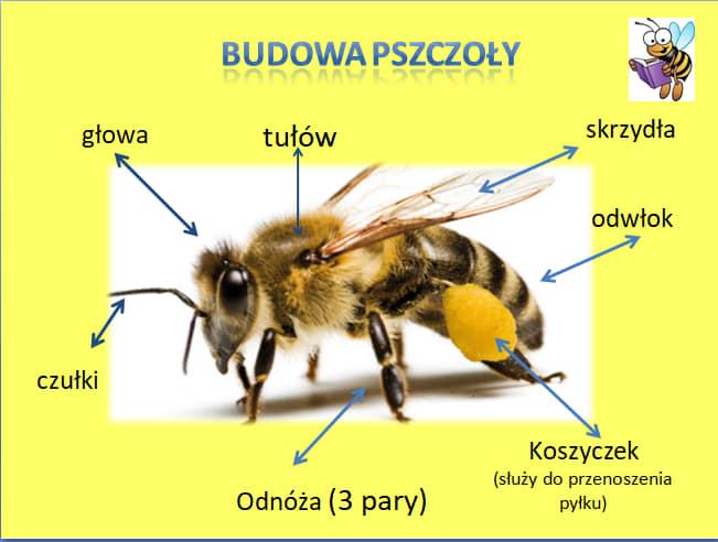 13.05.2020r. – Mieszkańcy łąki – pszczoła – fb relacje